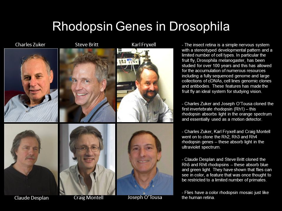 Rhodopsin Genes in Drosophila - The insect retina is a simple nervous system with a stereotyped developmental pattern and a limited number of cell typ