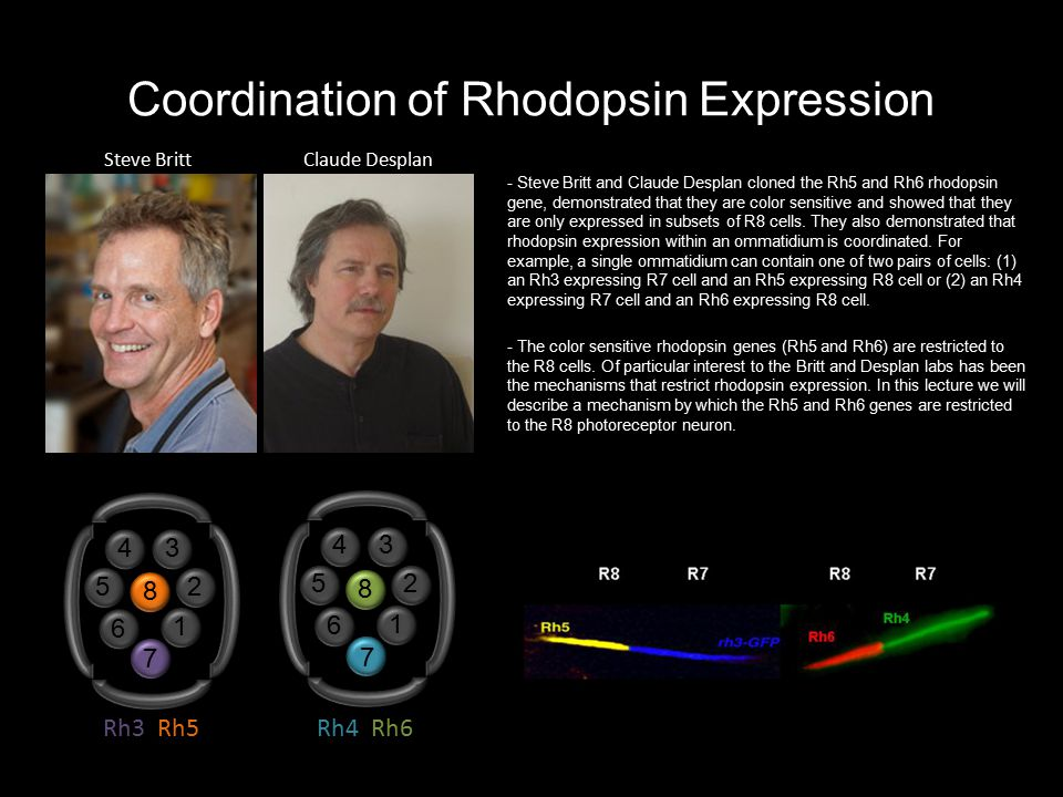 Coordination of Rhodopsin Expression - Steve Britt and Claude Desplan cloned the Rh5 and Rh6 rhodopsin gene, demonstrated that they are color sensitiv