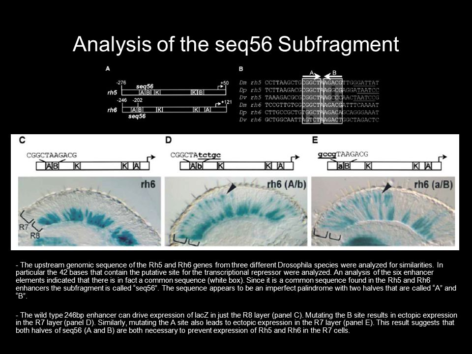 Analysis of the seq56 Subfragment - The upstream genomic sequence of the Rh5 and Rh6 genes from three different Drosophila species were analyzed for s