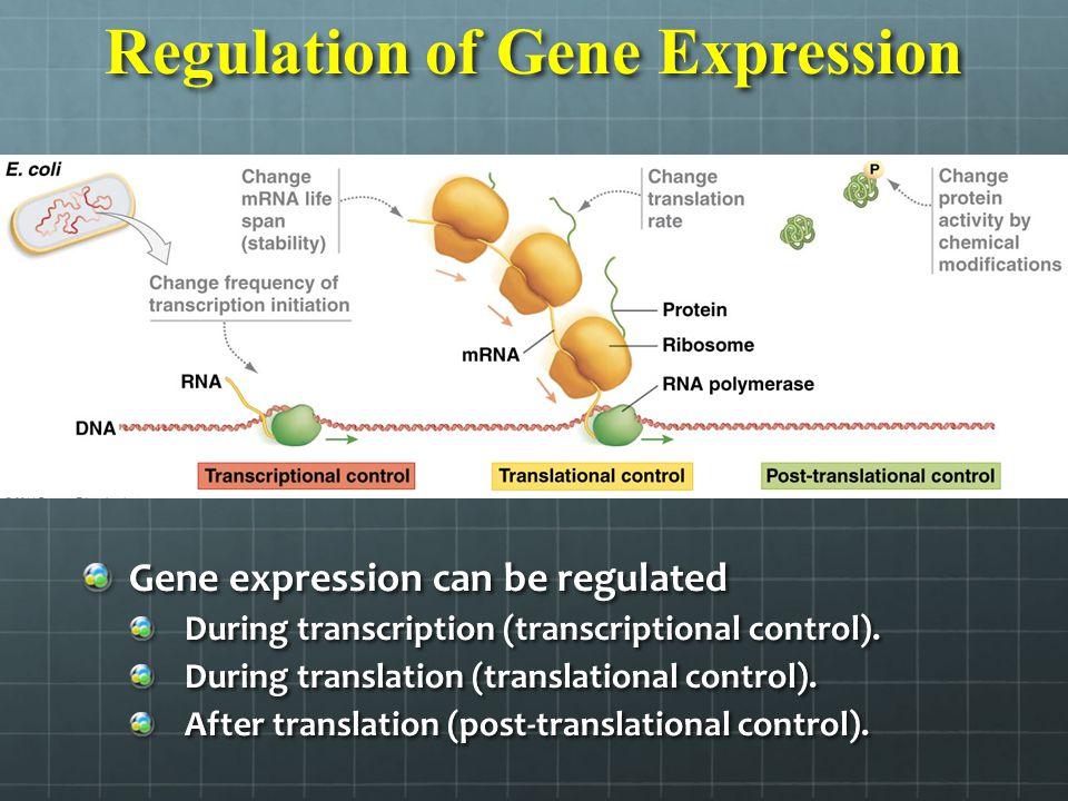 Regulation of Gene Expression Gene expression can be regulated During transcription (transcriptional control). During transcription (transcriptional c