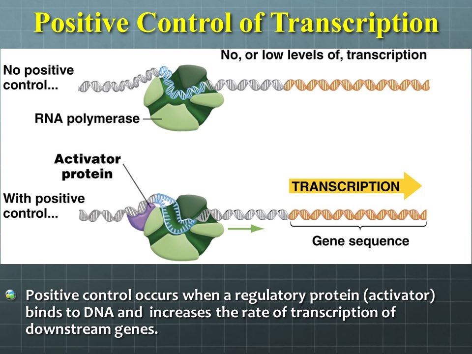 Positive Control of Transcription Positive control occurs when a regulatory protein (activator) binds to DNA and increases the rate of transcription o