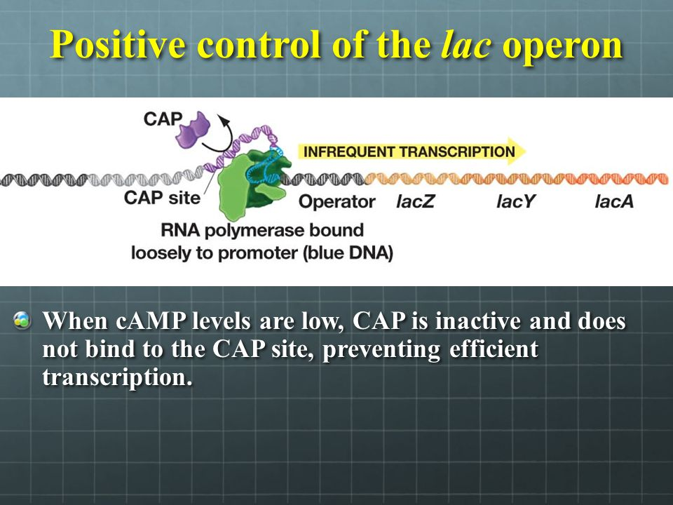 Positive control of the lac operon When cAMP levels are low, CAP is inactive and does not bind to the CAP site, preventing efficient transcription.