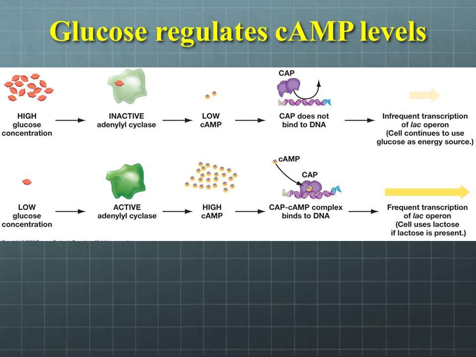 Glucose regulates cAMP levels