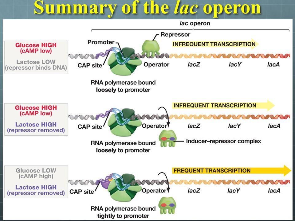 Summary of the lac operon