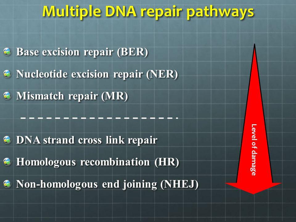 Multiple DNA repair pathways Base excision repair (BER) Nucleotide excision repair (NER) Mismatch repair (MR) DNA strand cross link repair Homologous
