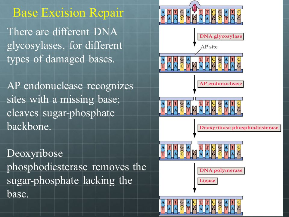 Base Excision Repair There are different DNA glycosylases, for different types of damaged bases. AP endonuclease recognizes sites with a missing base;