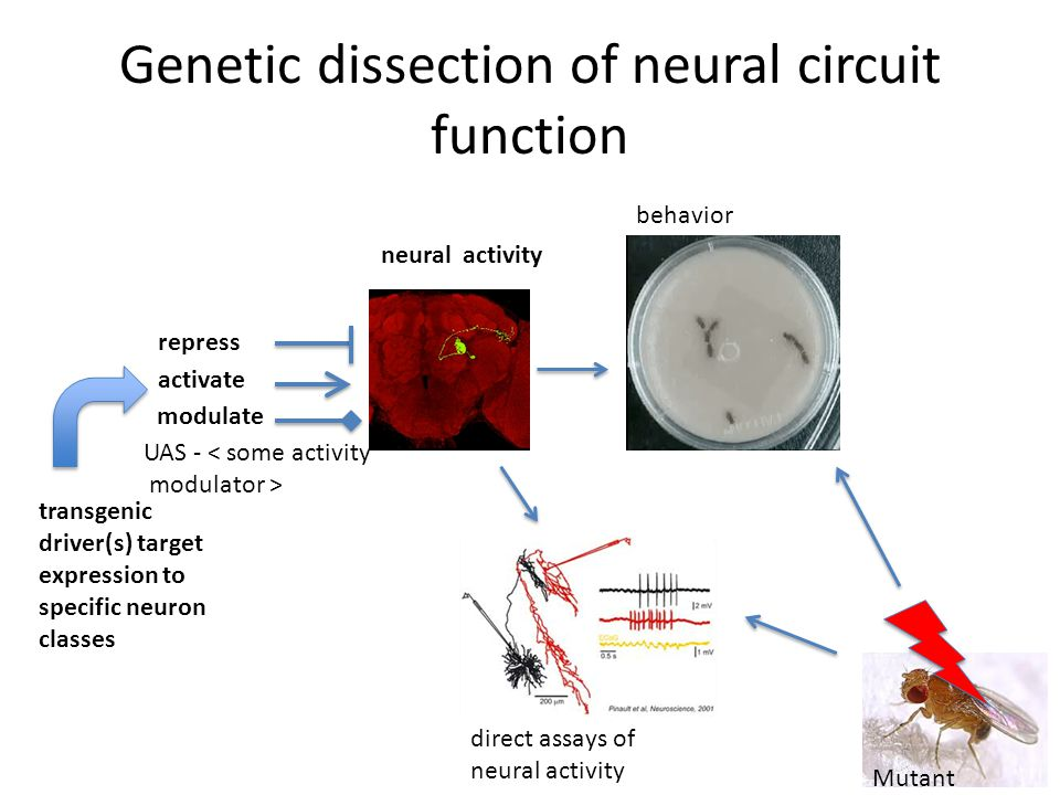 Genetic dissection of neural circuit function transgenic driver(s) target expression to specific neuron classes repress neural activity activate modulate behavior direct assays of neural activity UAS - < some activity modulator > Mutant