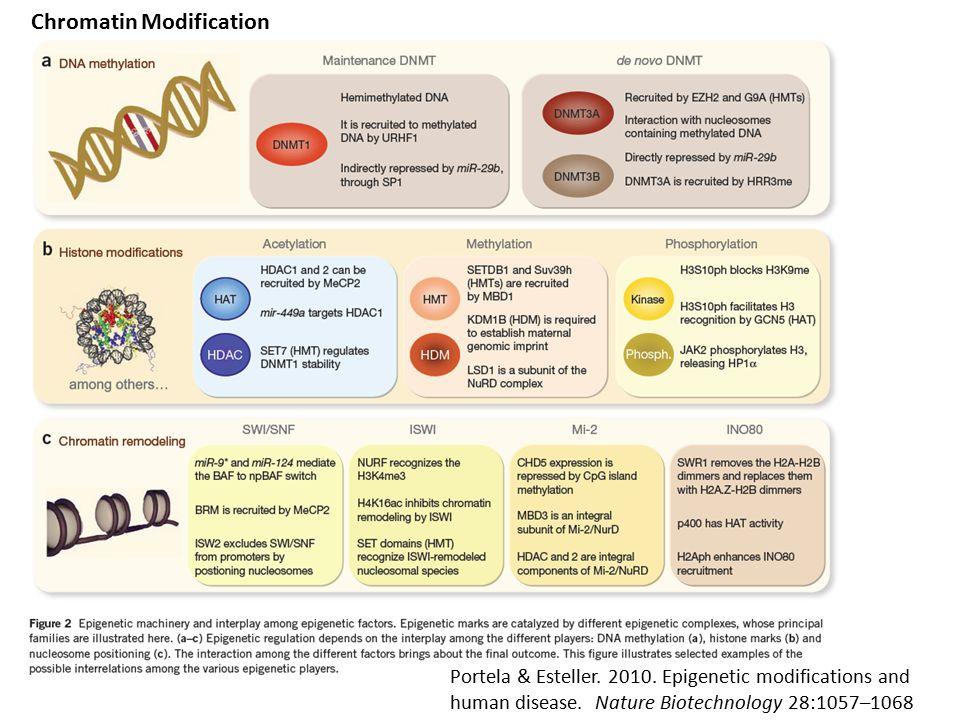 Chromatin Modification Portela & Esteller. 2010. Epigenetic modifications and human disease. Nature Biotechnology 28:1057–1068