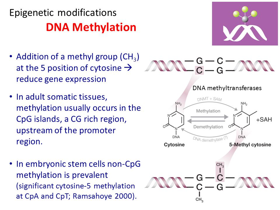 DNA Methylation Epigenetic modifications DNA methyltransferases Addition of a methyl group (CH 3 ) at the 5 position of cytosine  reduce gene express