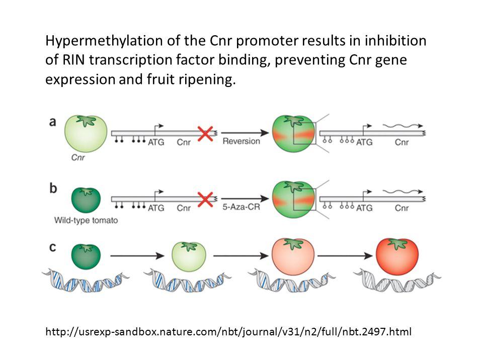 Hypermethylation of the Cnr promoter results in inhibition of RIN transcription factor binding, preventing Cnr gene expression and fruit ripening. htt