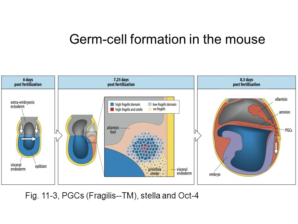 Germ-cell formation in the mouse Fig. 11-3, PGCs (Fragilis--TM), stella and Oct-4