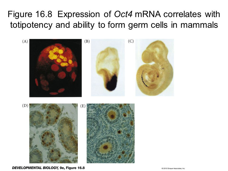 Figure 16.8 Expression of Oct4 mRNA correlates with totipotency and ability to form germ cells in mammals
