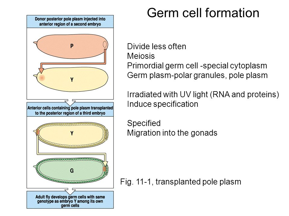 Figure 16.5 Localization of germ cell-less gene products in the posterior of the Drosophila egg and embryo