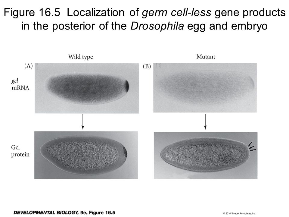 Meiosis produces haploid cells Fig. 11-6 without replication