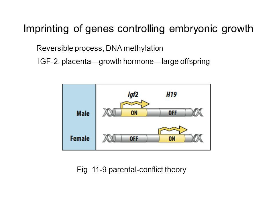 Imprinting of genes controlling embryonic growth Fig.