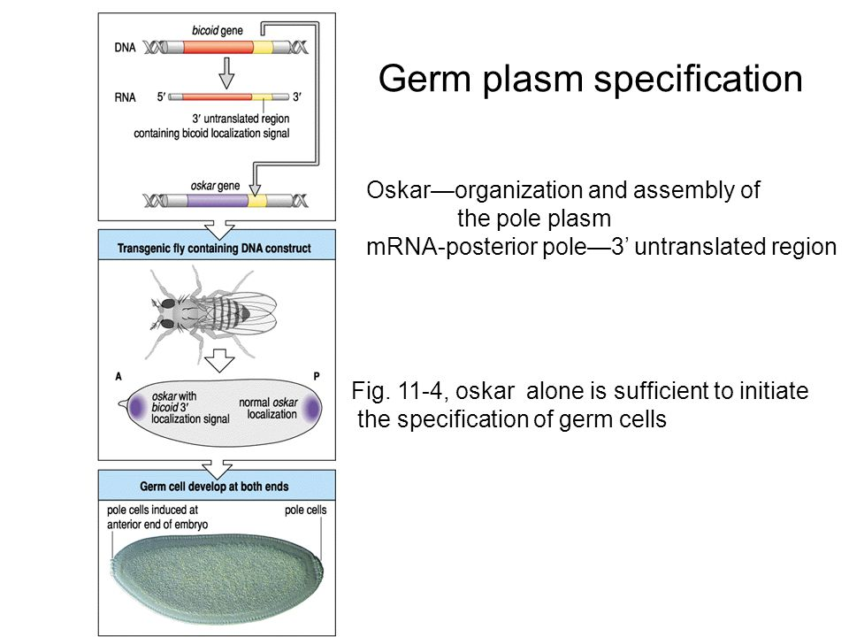 Oskar—organization and assembly of the pole plasm mRNA-posterior pole—3' untranslated region Germ plasm specification Fig.
