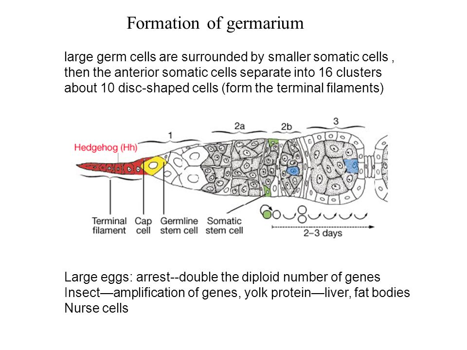 Figure 16.14 Primordial germ cell migration in the mouse