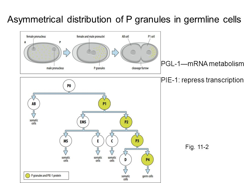 Figure 16.26 Retinoic acid (RA) determines the timing of meiosis and sexual differentiation of mammalian germ cells (Part 1)