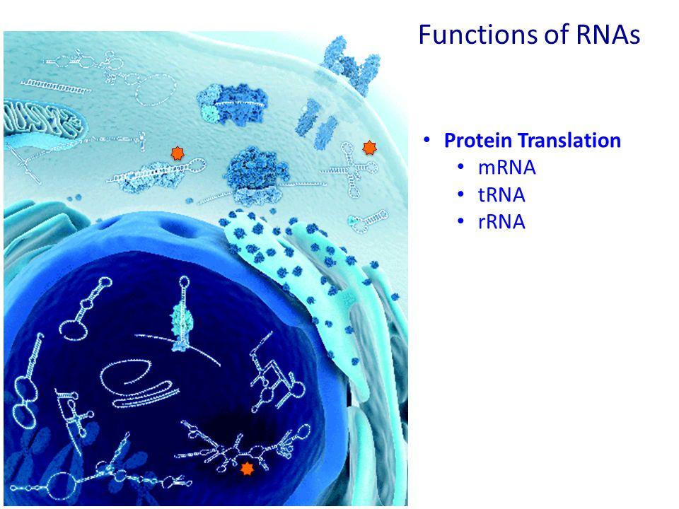 Functions of RNAs Protein Translation mRNA tRNA rRNA