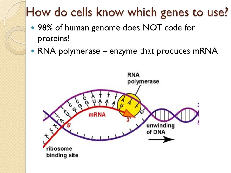 How do cells know which genes to use. 98% of human genome does NOT code for proteins.