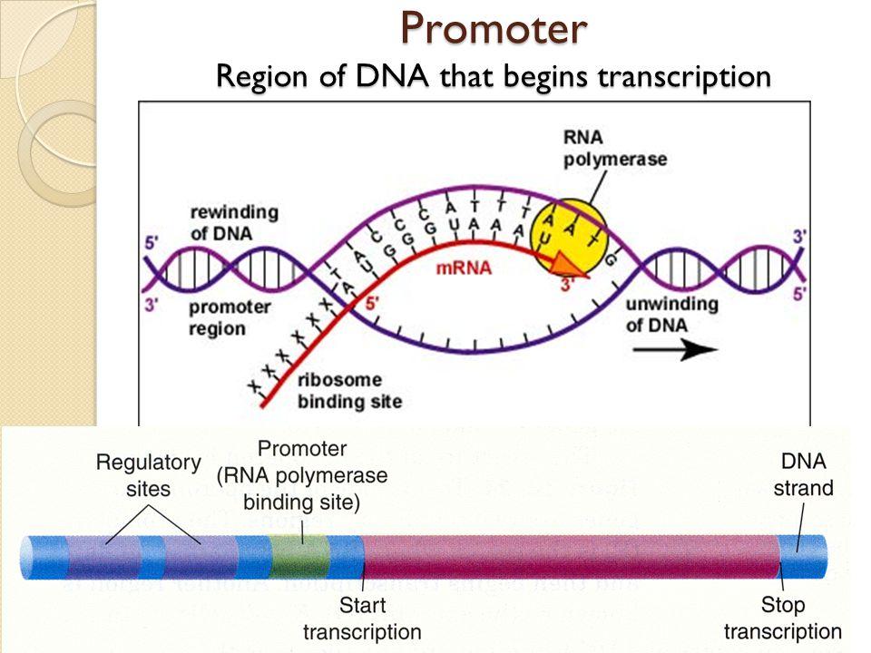 Promoter Region of DNA that begins transcription