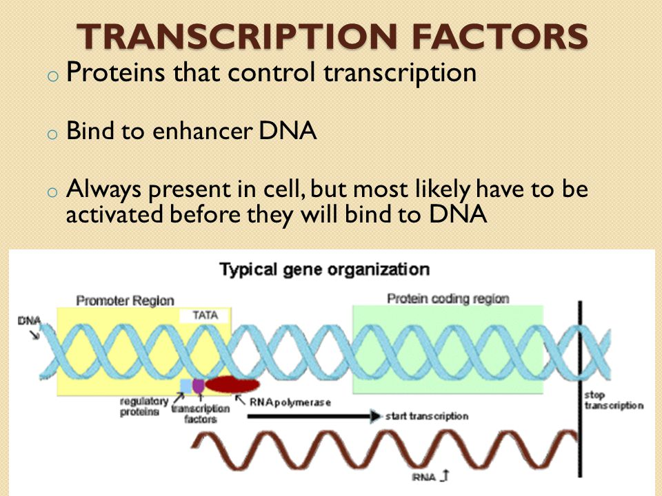 TRANSCRIPTION FACTORS o Proteins that control transcription o Bind to enhancer DNA o Always present in cell, but most likely have to be activated before they will bind to DNA