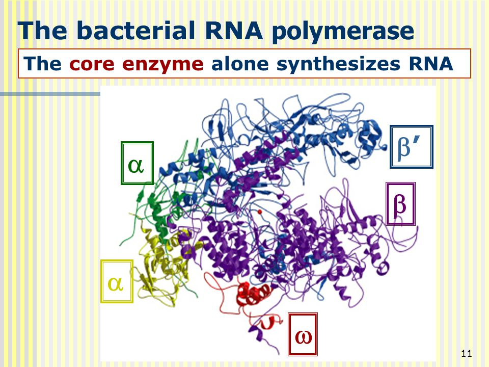 11 The bacterial RNA polymerase The core enzyme alone synthesizes RNA    '' 