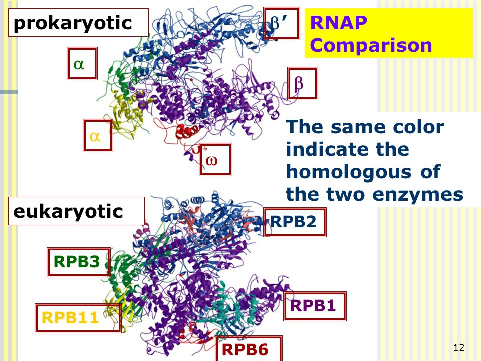 12   ''  RPB3 RPB11 RPB2 RPB1 RPB6 RNAP Comparison The same color indicate the homologous of the two enzymes prokaryotic eukaryotic 