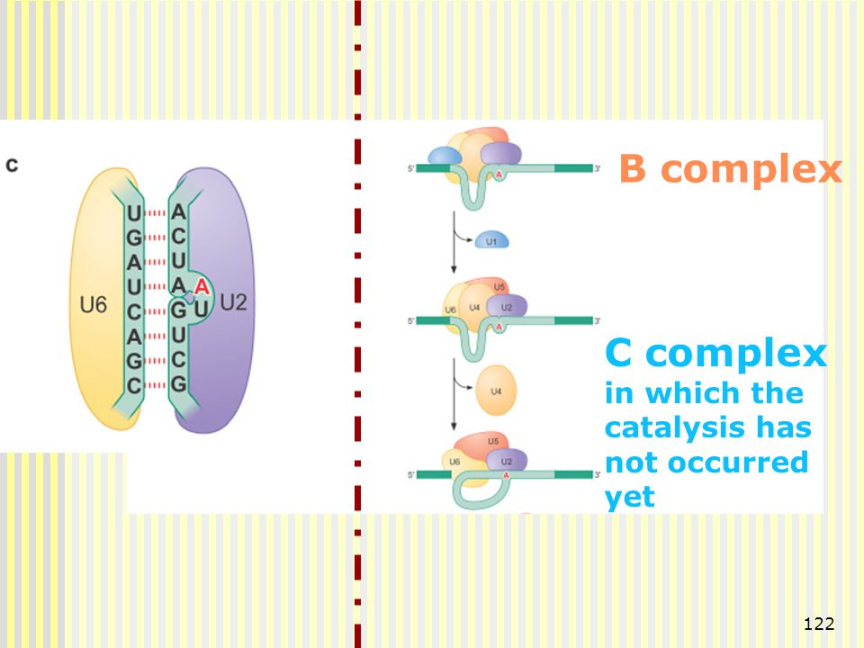 122 B complex C complex in which the catalysis has not occurred yet