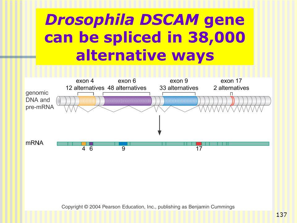 137 Drosophila DSCAM gene can be spliced in 38,000 alternative ways