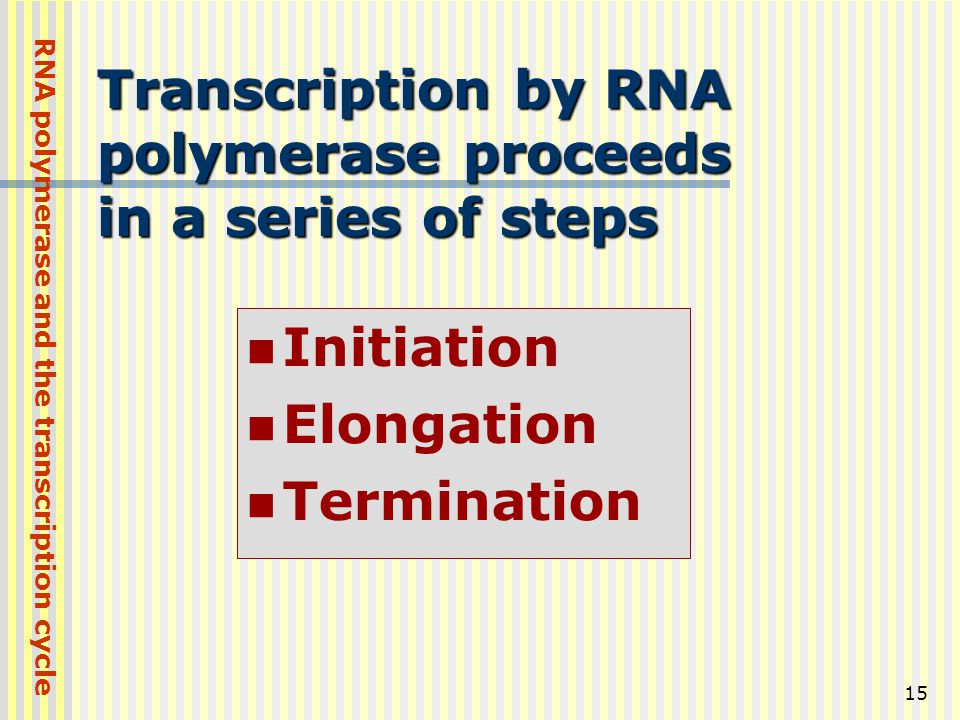 15 Transcription by RNA polymerase proceeds in a series of steps Initiation Elongation Termination RNA polymerase and the transcription cycle