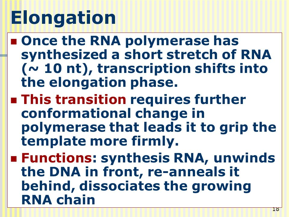 18 Elongation Once the RNA polymerase has synthesized a short stretch of RNA (~ 10 nt), transcription shifts into the elongation phase. This transitio