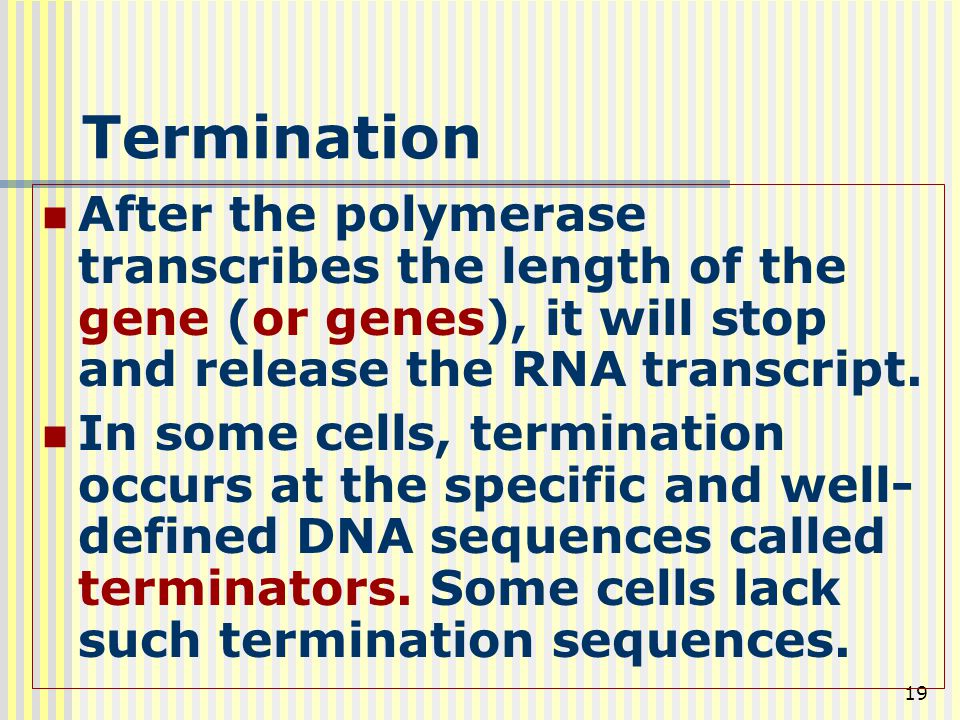 19 Termination After the polymerase transcribes the length of the gene (or genes), it will stop and release the RNA transcript. In some cells, termina
