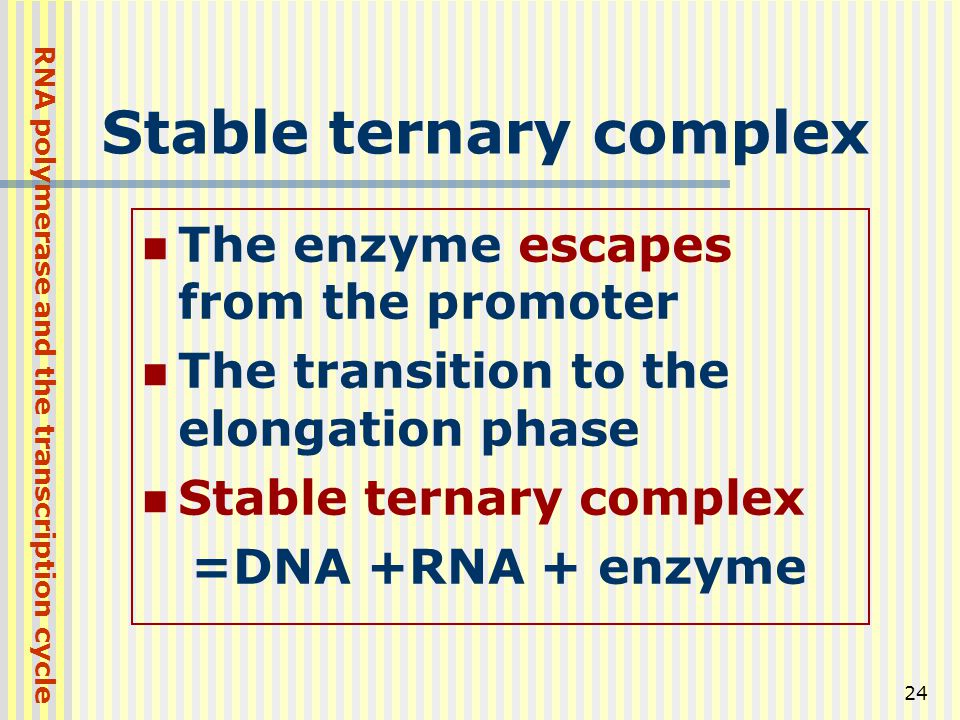 24 Stable ternary complex The enzyme escapes from the promoter The transition to the elongation phase Stable ternary complex =DNA +RNA + enzyme RNA po