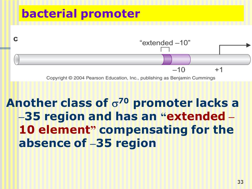 """33 bacterial promoter Another class of  70 promoter lacks a – 35 region and has an """" extended – 10 element """" compensating for the absence of – 35 reg"""