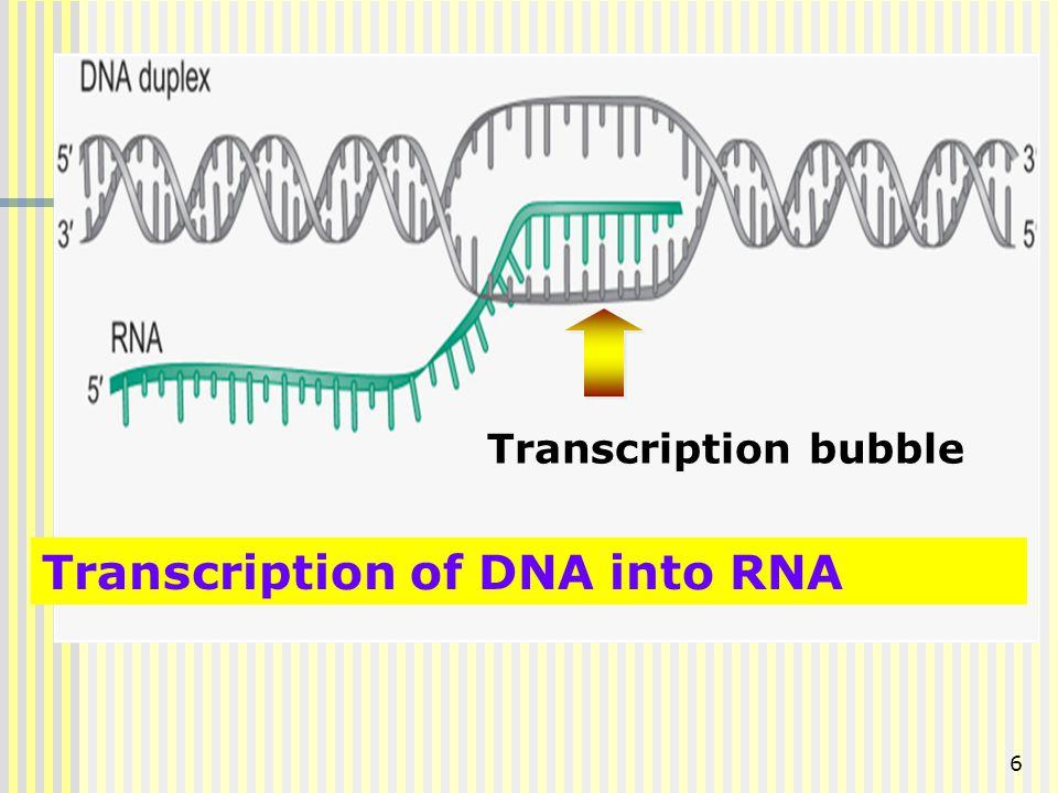 6 Transcription of DNA into RNA Transcription bubble