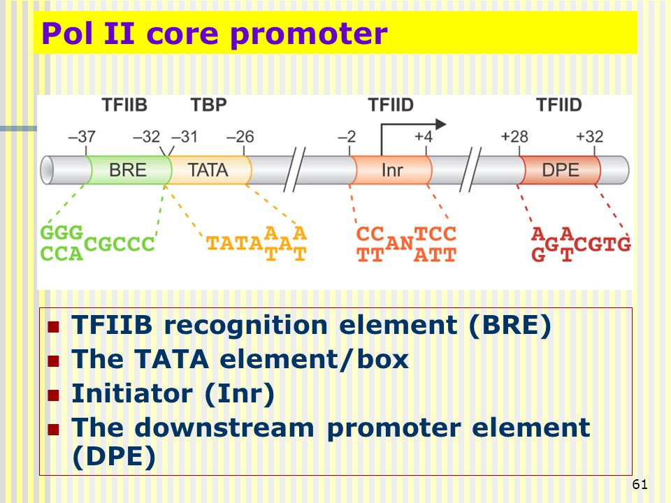 61 TFIIB recognition element (BRE) The TATA element/box Initiator (Inr) The downstream promoter element (DPE) Pol II core promoter