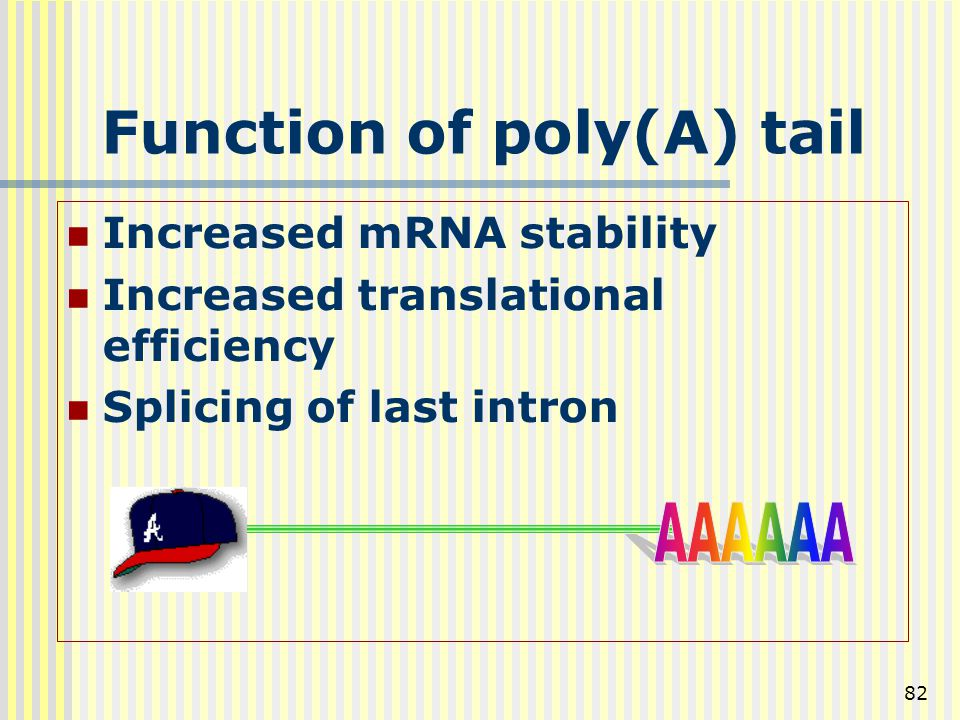 82 Function of poly(A) tail Increased mRNA stability Increased translational efficiency Splicing of last intron