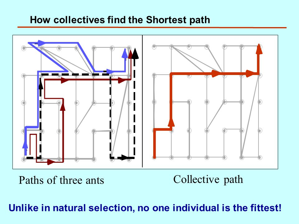 How collectives find the Shortest path Paths of three ants Collective path Unlike in natural selection, no one individual is the fittest!