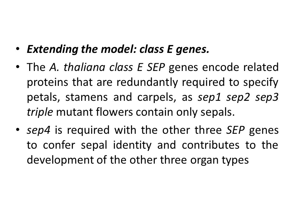 Extending the model: class E genes. The A.