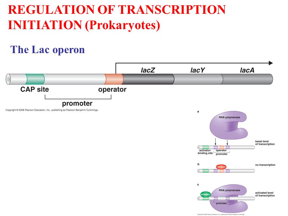 REGULATION OF TRANSCRIPTION INITIATION (Prokaryotes) The Lac operon