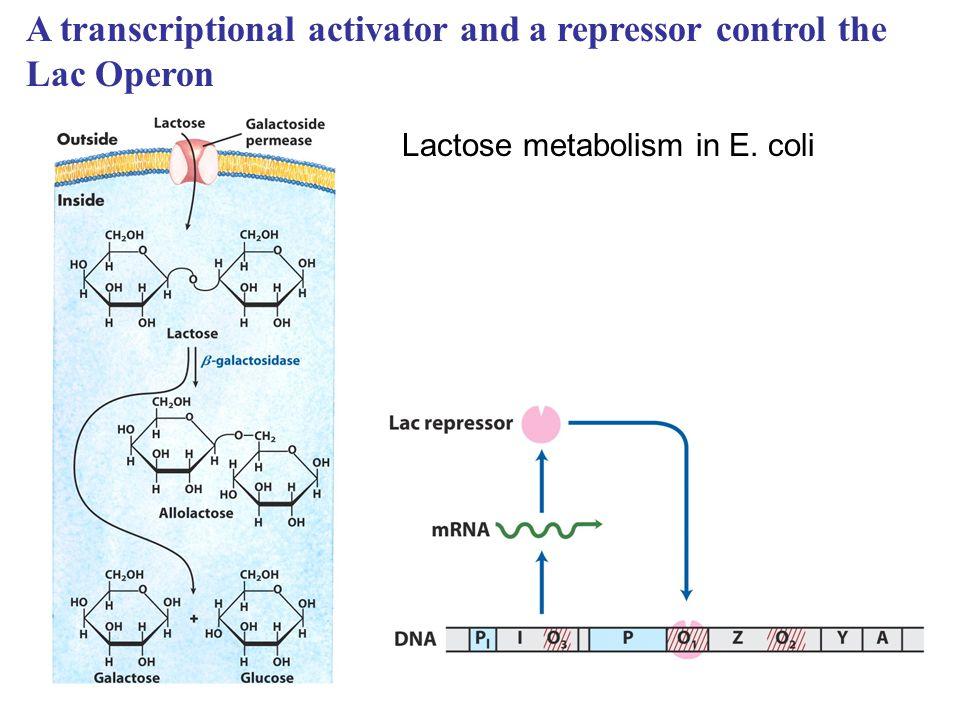 Lactose metabolism in E. coli A transcriptional activator and a repressor control the Lac Operon