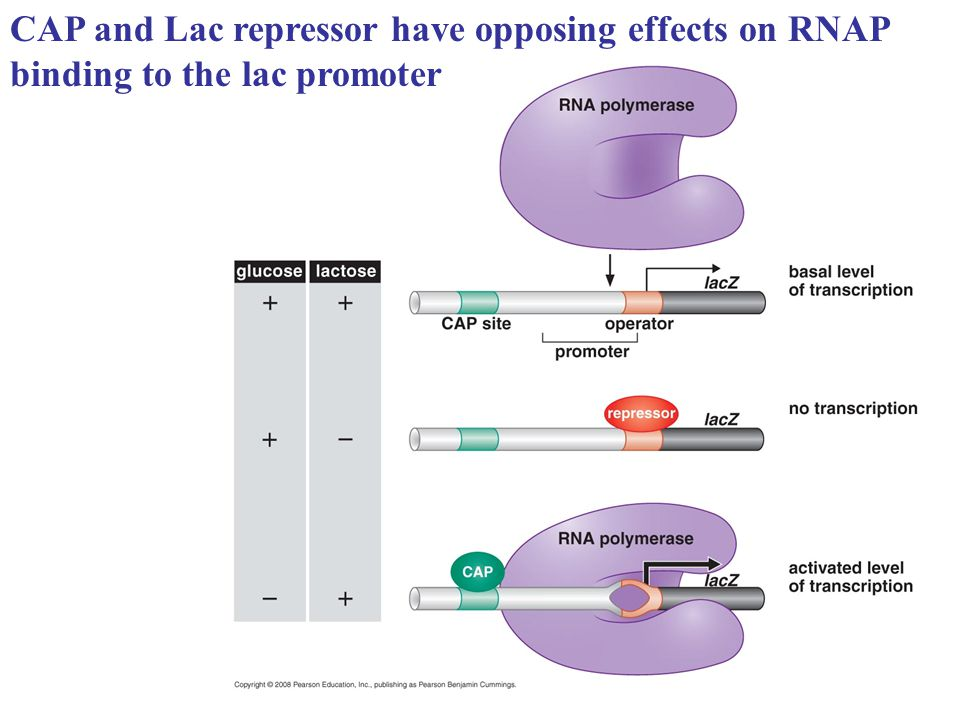 CAP and Lac repressor have opposing effects on RNAP binding to the lac promoter