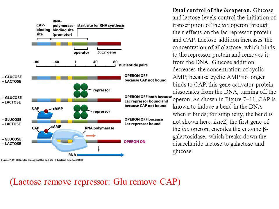 Dual control of the lacoperon.