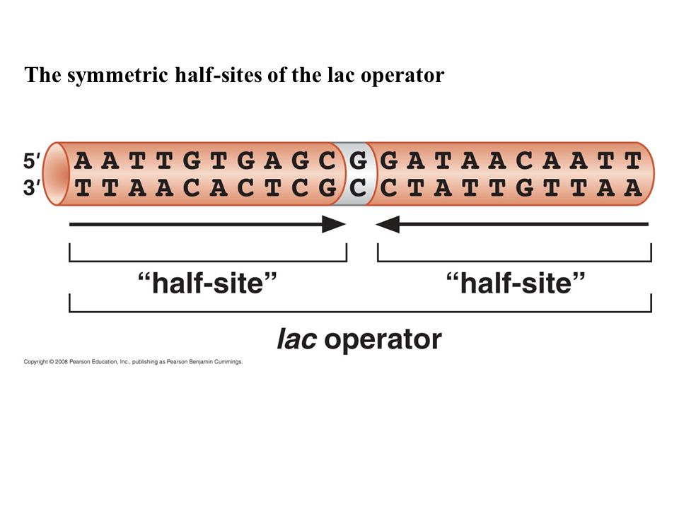 The symmetric half-sites of the lac operator