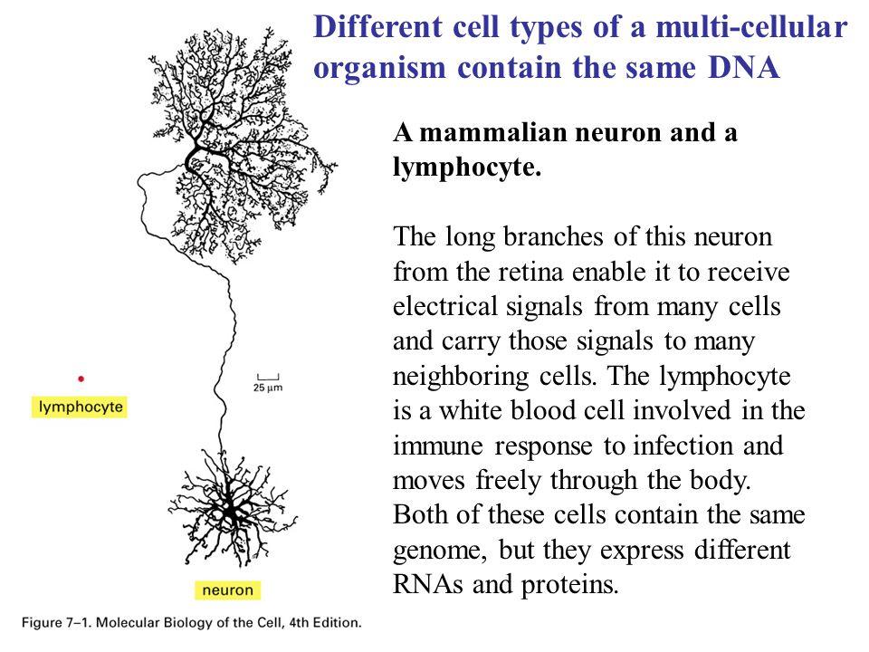 A mammalian neuron and a lymphocyte.