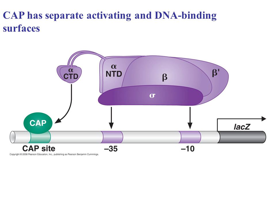 CAP has separate activating and DNA-binding surfaces