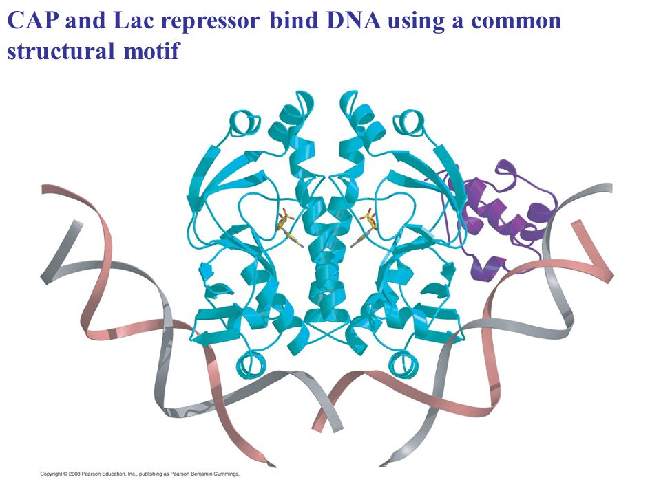 Binding of a protein with a helix-turn helix domain to DNA
