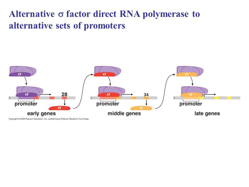 Alternative  factor direct RNA polymerase to alternative sets of promoters