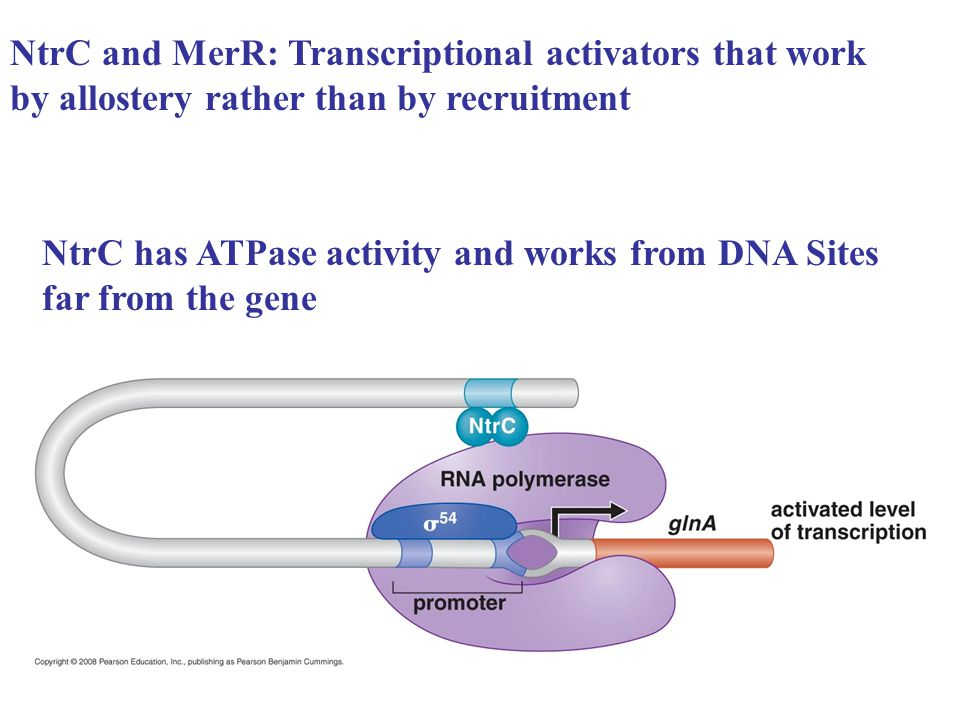 NtrC and MerR: Transcriptional activators that work by allostery rather than by recruitment NtrC has ATPase activity and works from DNA Sites far from